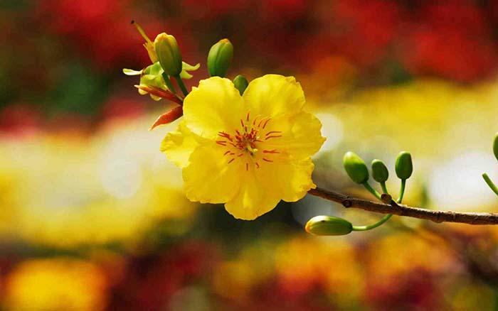 giải mãi giấc mơ thấy hoa mai - lô đề go88